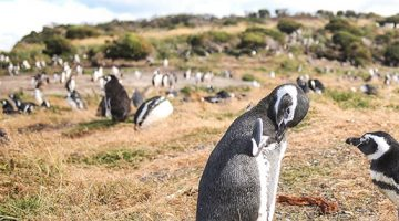 Argentina Penguins