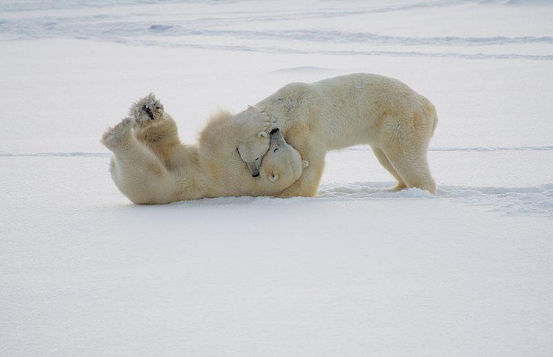 Vacationsmag-Polar-Bears-In-Churchill-Canada