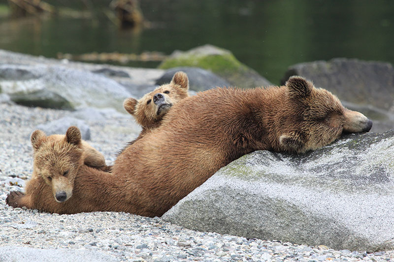 Vacationsmag-canada-grizzly