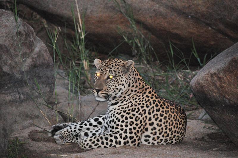 Vacationsmag_Cheetah-at-Phinda-Mountain-Lodge