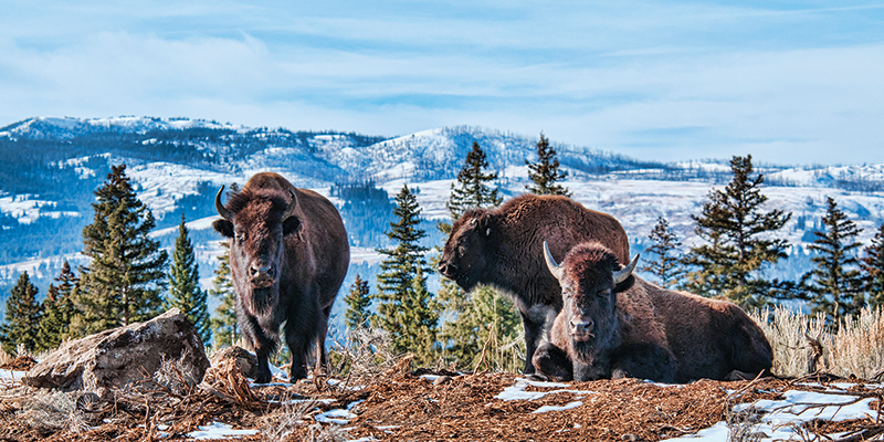 Vacationsmag_tauck-bison