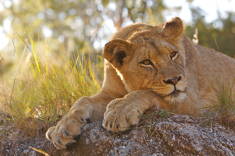 Vacationsmag_south-africa-Lion