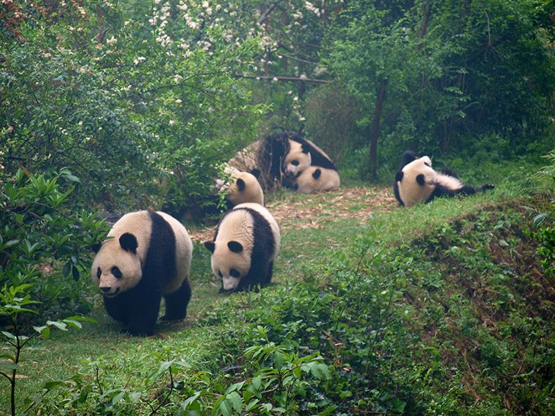 Vacationsmag_Giant-Pandas,-Chengdu-