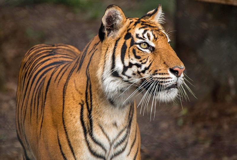 Vacationsmag_Sumatran_Tiger_David_Sykestigerb