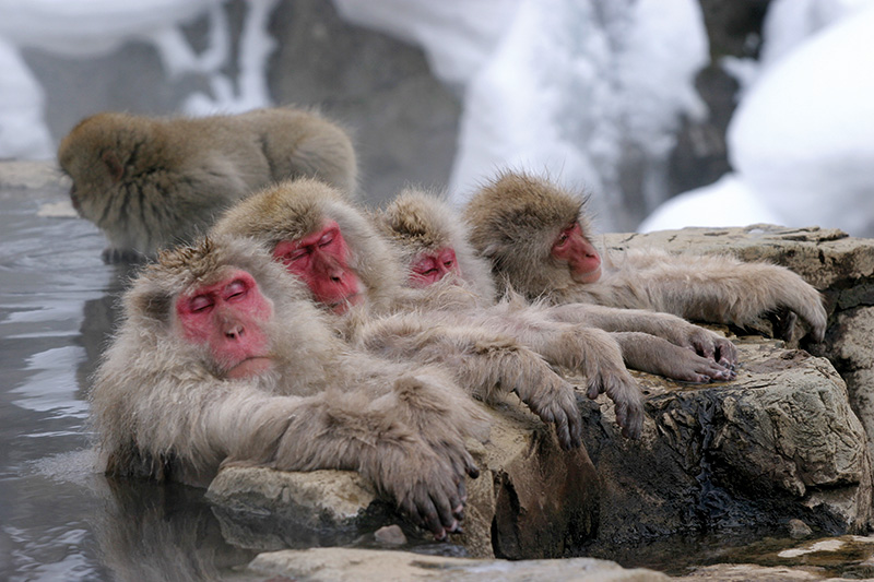 Vacationsmag_Jigokudani-Hotspring-Monkeys