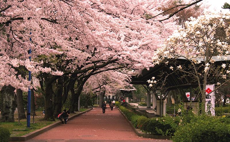 Vacationsmag_Tsutsujigaoka_Park_in_the_cherry_blossom_season