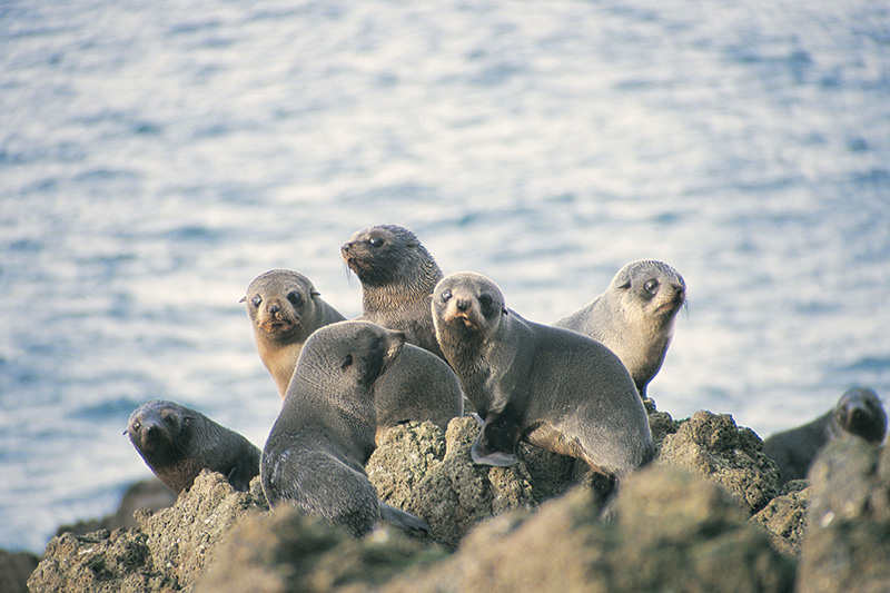 Vacationsmag_Dunedin-fur-seals