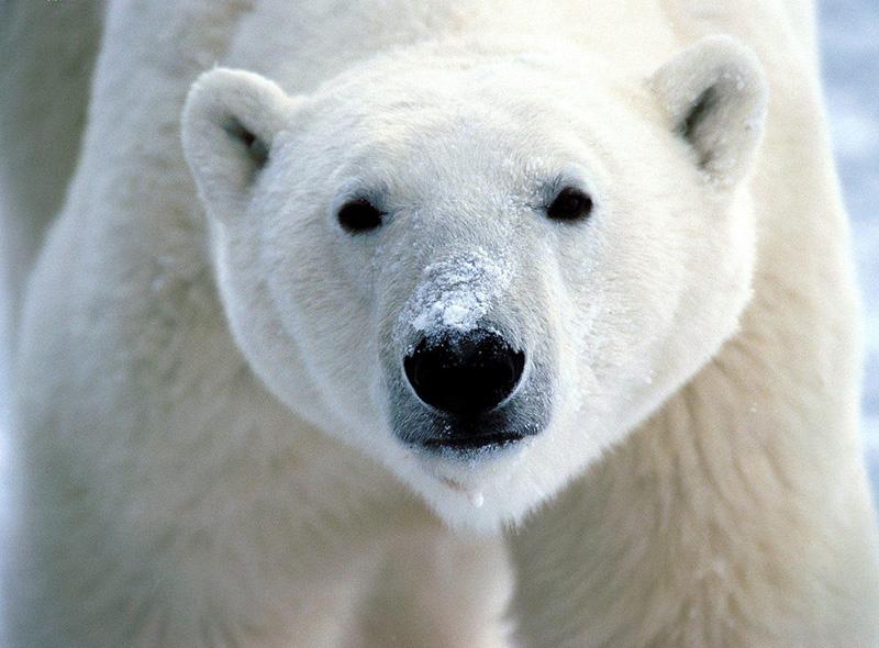 Vacationsmag_Polar-Bear