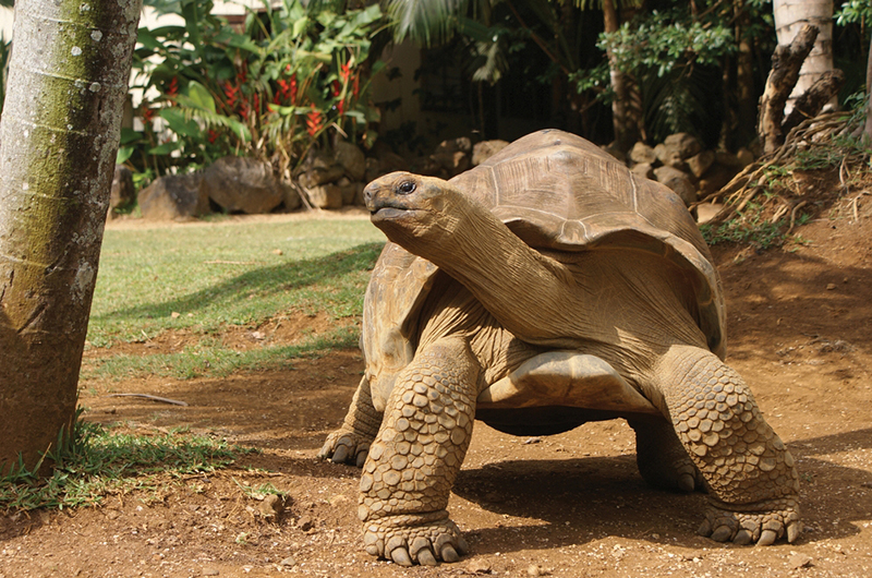 Aldabra Giant Tortoise, Curieuse Island, Seychelles