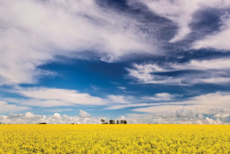 Canola fields, Clare Valley