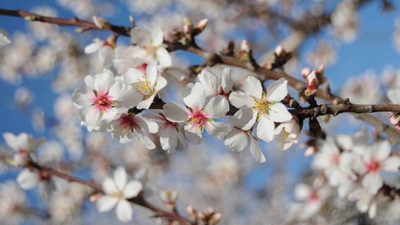 South Australia, Willunga, Almond Blossom Festival