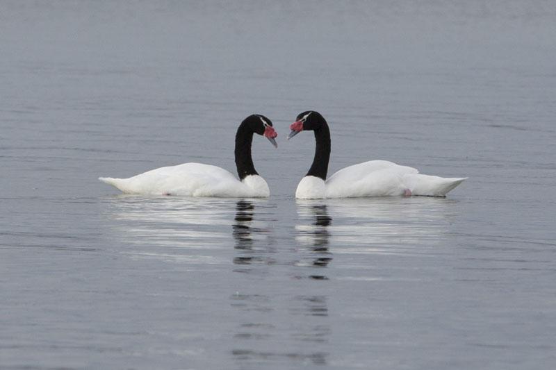 Black neck swans, lakes, Chile