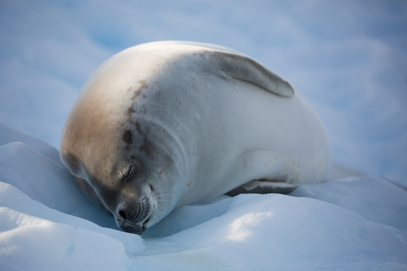 Cuverville Island, Antarctica, Crabeater seal