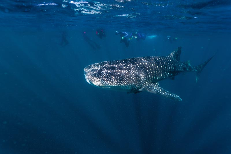 Whale Shark, Ningaloo Marine Park, Western Australia