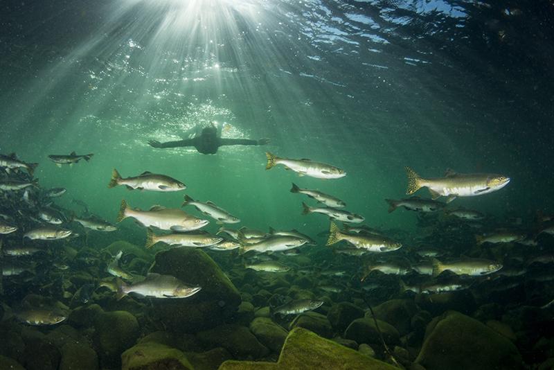 Snorkelling, salmon, British Columbia, Canada