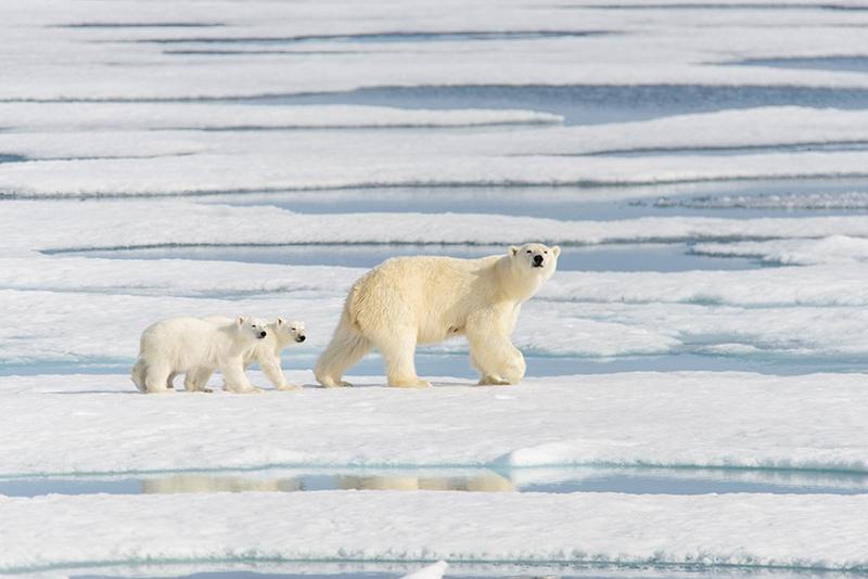 polar bears, Aurora Expeditions, cruising