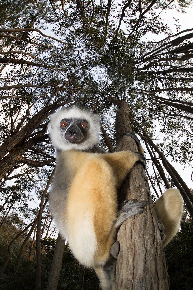 Sifaka, lemur, Madagascar