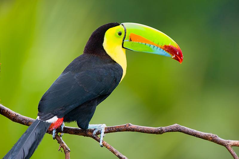 toucan, Central America, Collette