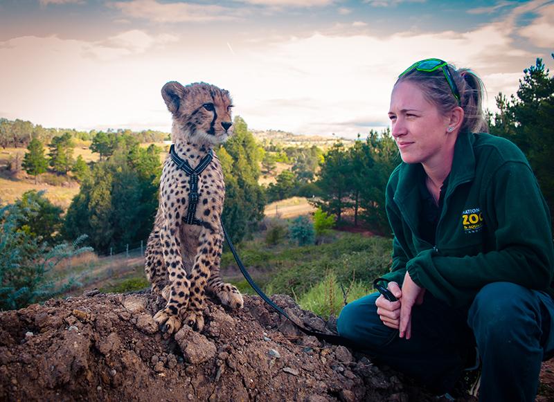 Cheetah, National Zoo & Aquarium