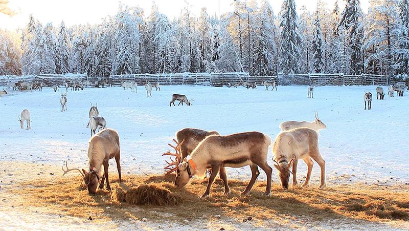 Kujalan Porotila, reindeer farm, Finland