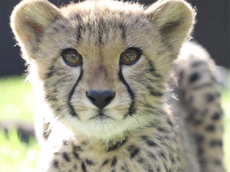 Cheetah, National zoo & Aquarium, Canberra