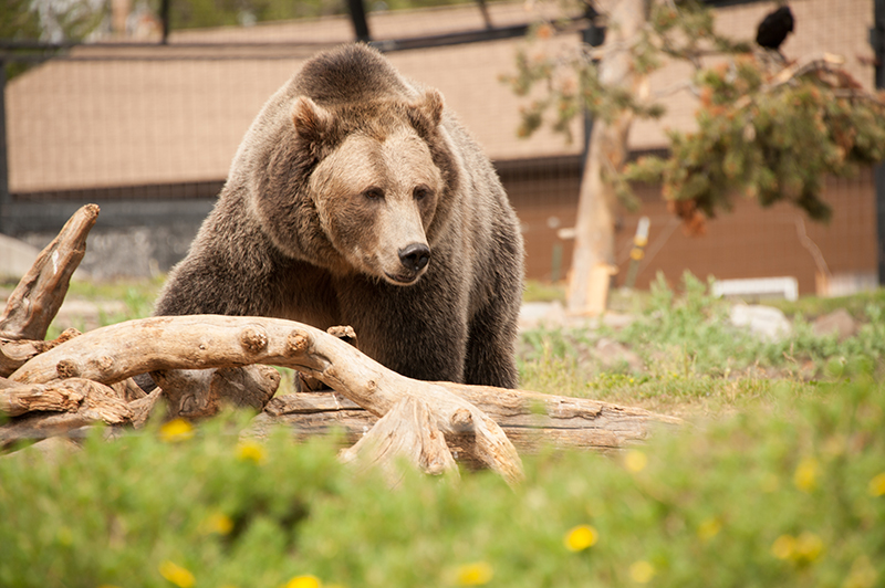 Bear, Grizzly Bear, wolves, Grizzly and Wolf Discovery Center