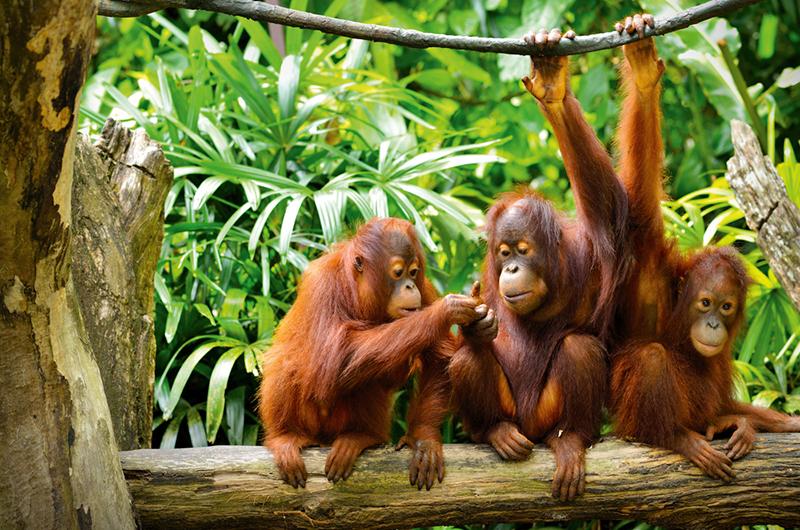Orangutans, Borneo, Travelbay