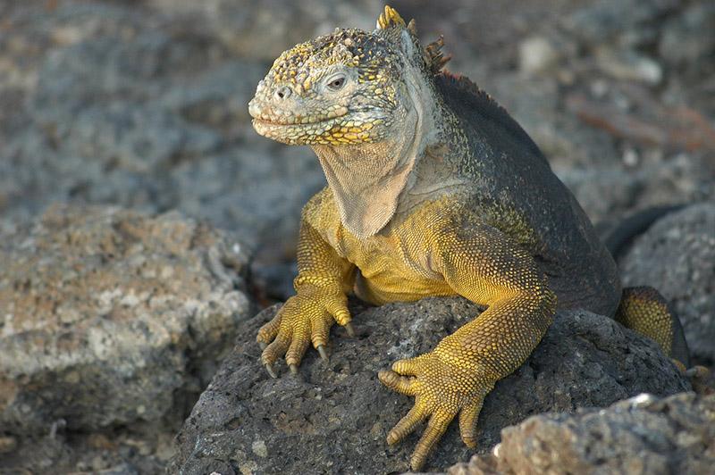 Komodo Dragon, Galapagos Islands