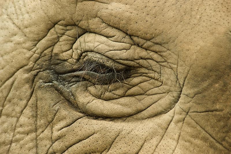 Elephant eye, Thailand. Anantara
