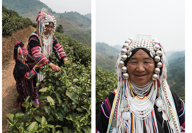 Picking tea, Thailand