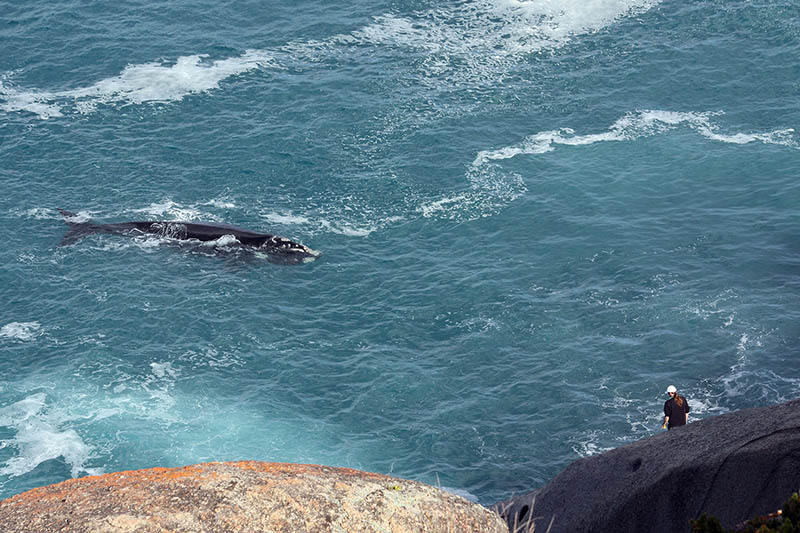 The Bluff, Victor Harbor, whale watching, South Australia