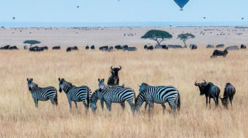 Great Migration, Maasai Mara, Kenya, Africa, hot air balloon