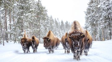 Jackson Hole, Wyoming, Bison