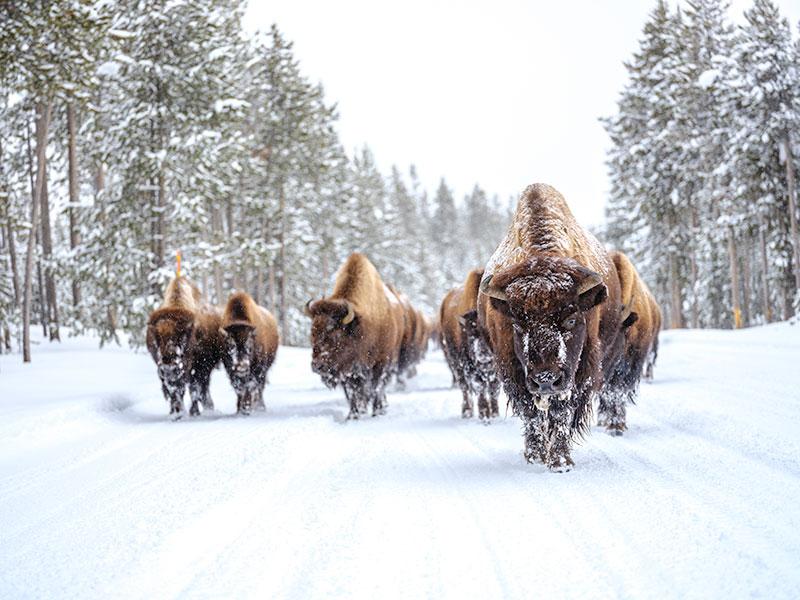 Jackson Hole, Wyoming, Bison