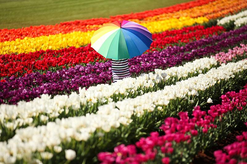 flower festival, flowers, flower market, markets, festivals, floriade, Tesselaar, tulips