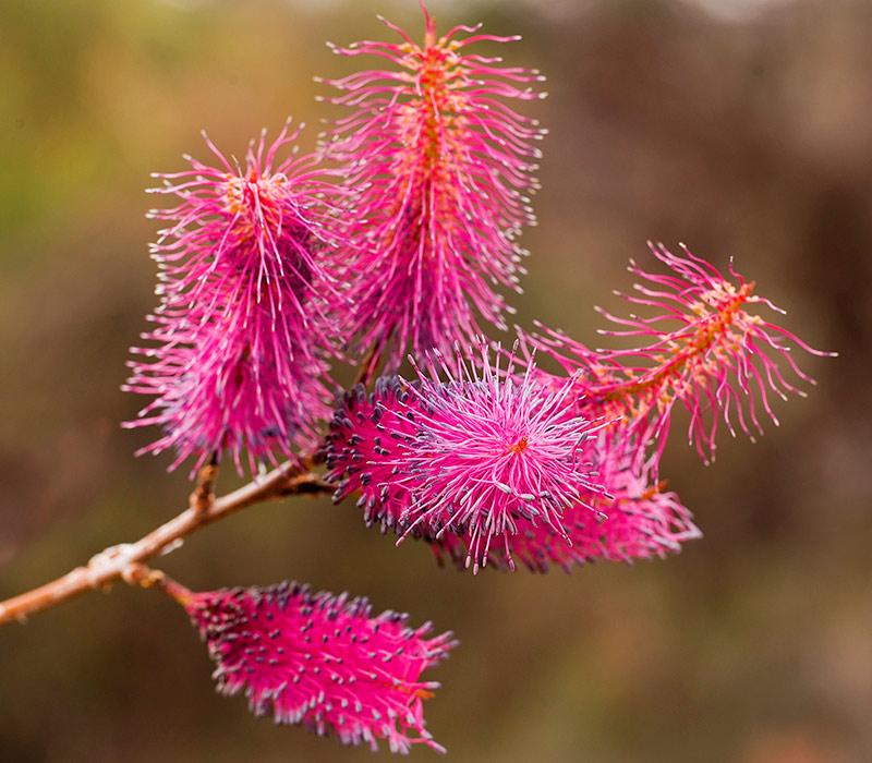 #justanotherdayinwa, Western Australia, wildflowers, WA wildflowers