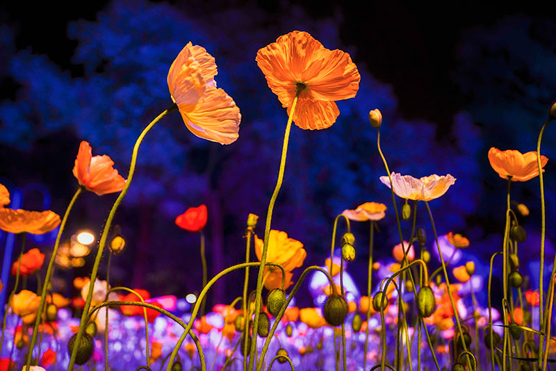 Night Fest Floriade, Australian flower festivals, festivals in Australia