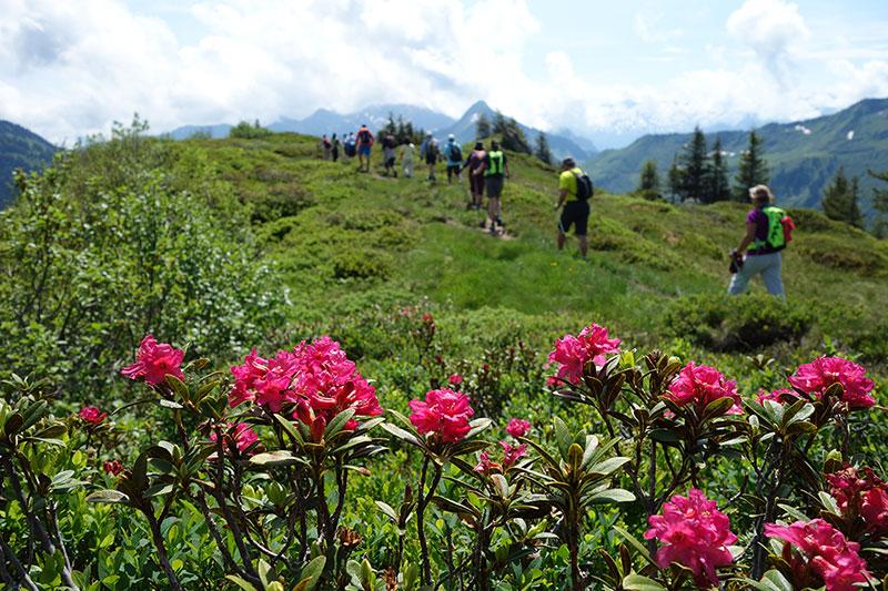 Walk Austria, Austrian Alps Active, Alps in Austria, Alpen roses, best of Austria, Must do Austria