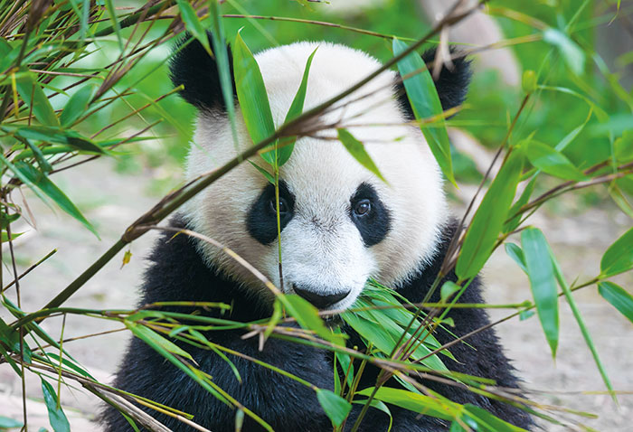 Giant pandas - six must-see attractions in China