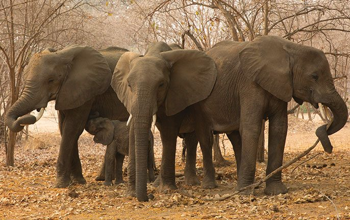 Walk don't run: African Safari elephants