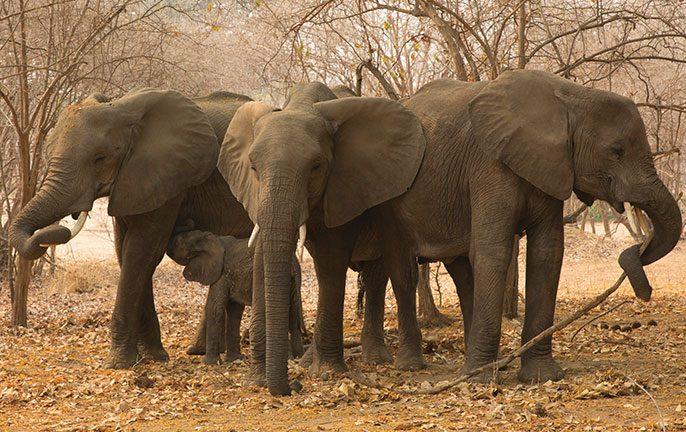 Walk don't run: African Safari elephants