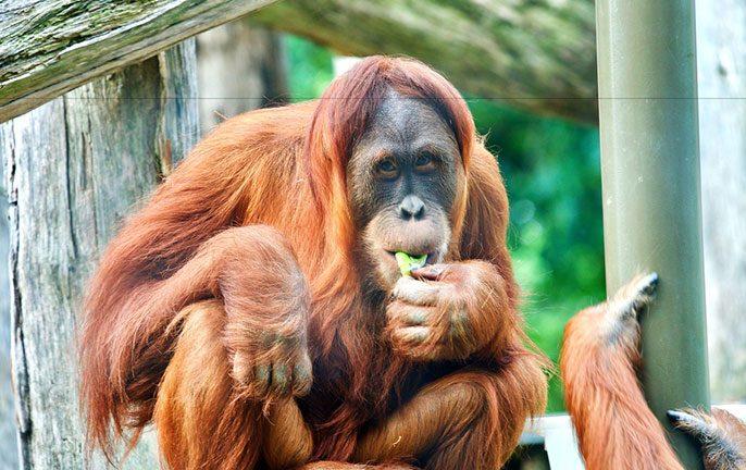 Sydney Zoo opens. Image: Victoria/Melbourne Zoo Sydney Zoo Orangutan