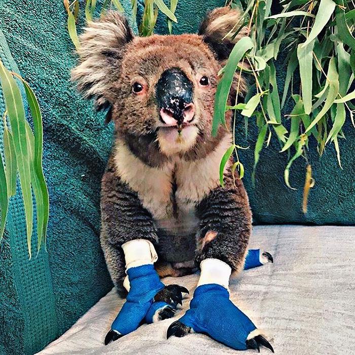Australian Bushfires koala rescue