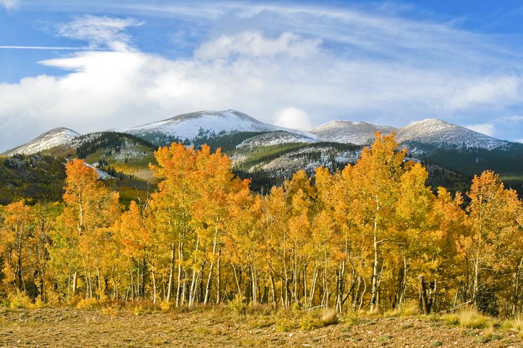 Colorado Fall: Aspen trees in full autumn