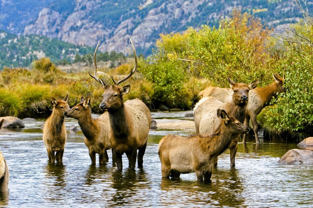 Colorado fall: resident elk herd in Rocky Mountain National Park