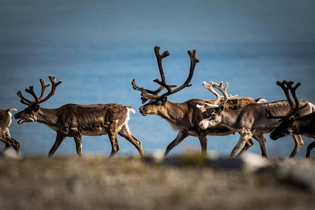 Reindeers roam wild across the country