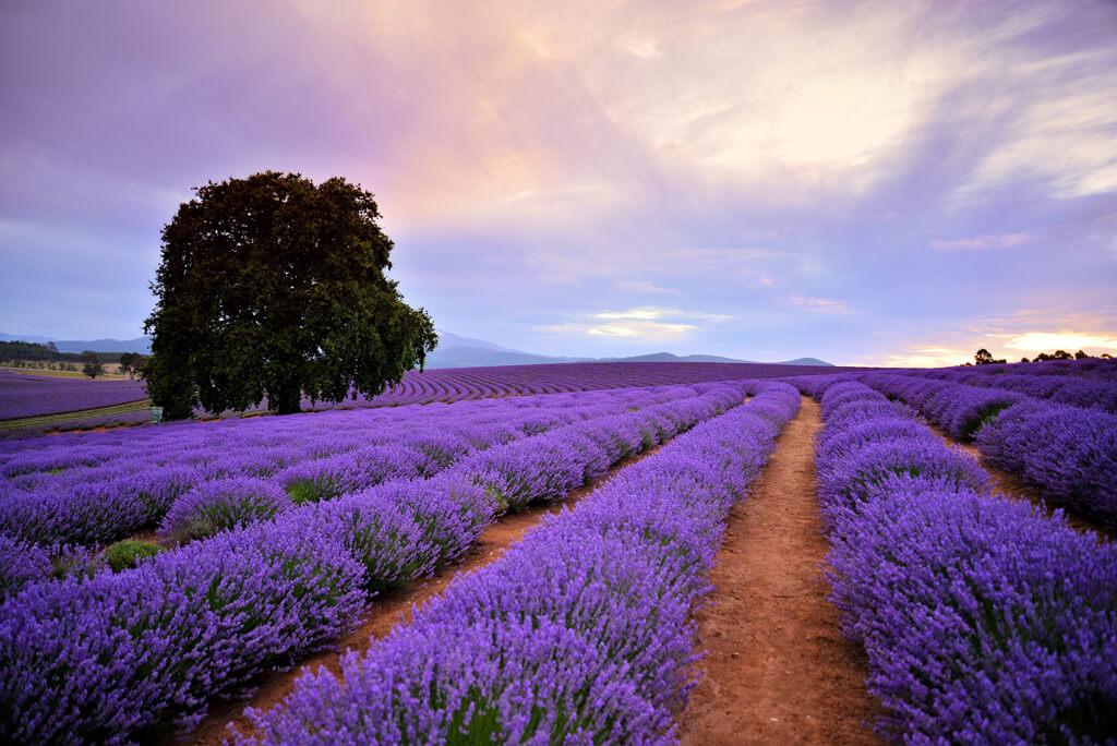 Travel Tasmania: Bridestowe Lavender Estate © Brian Dullaghan