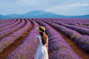 Travel Tasmania: Bridestowe Lavender Estate