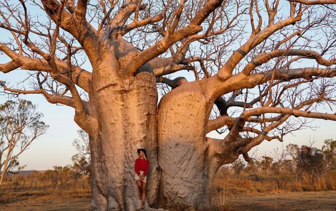 Boab Tree, Kimberley