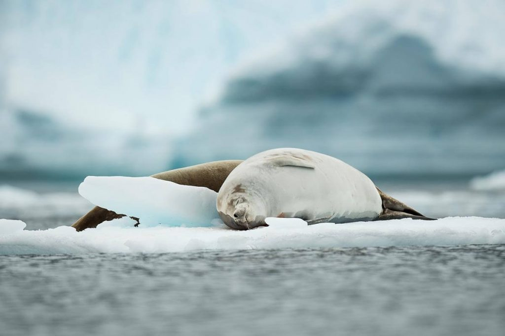 Seal on Cuverville Island, Antarctica
